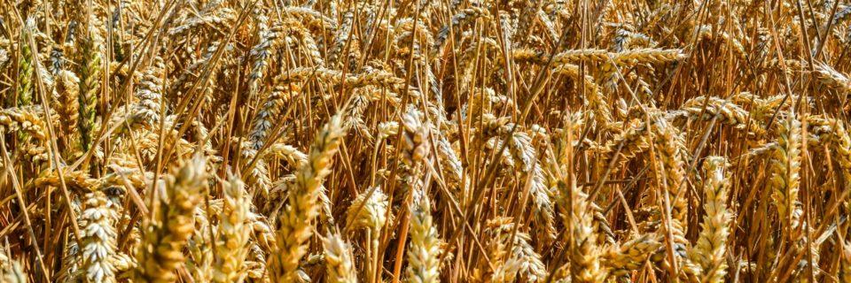 Сертификат на пшеницу